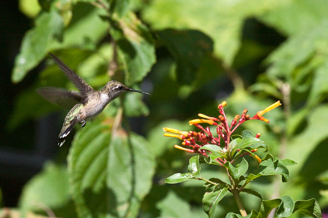 Immature Male Ruby-throated Hummingbird, Jacksonville, Florida