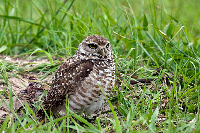 Burrowing Owl at Punta Gorda, Florida