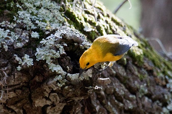 Prothonotary Warbler at Fort De Soto County Park by Richard Becker
