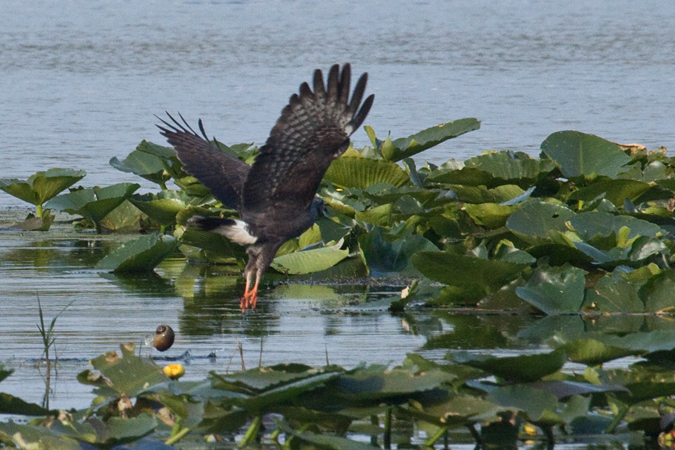 Snail Kite, Joe Overstreet Road, Lake Kissimmee, Florida
