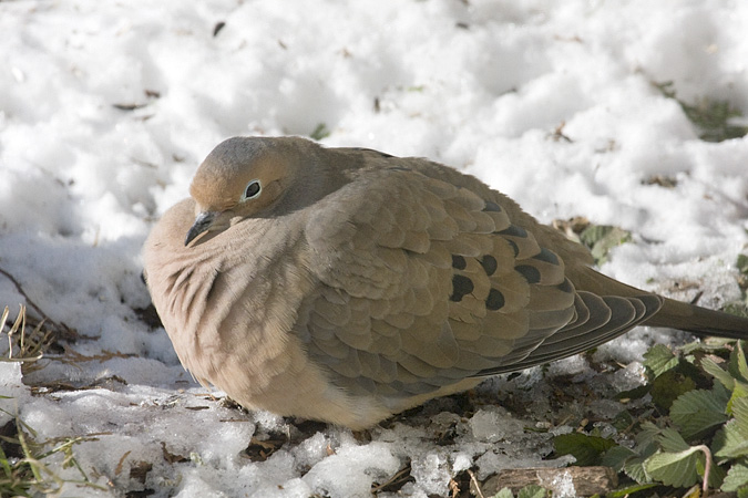 Mourning Dove, Stamford, CT