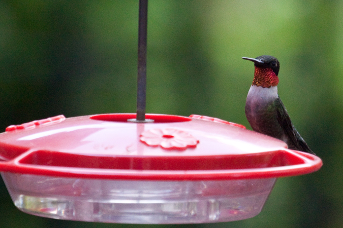 Male Ruby-throated Hummingbird, Jacksonville, Florida