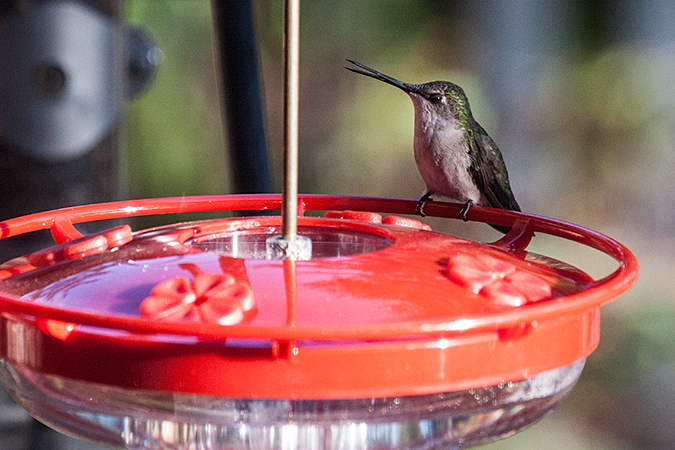 Female Ruby-throated Hummingbird, Jacksonville, Florida