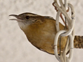 Carolina Wren Inside My House