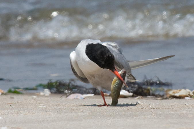 Common Tern - Breezy Point, Gateway NRA, New York