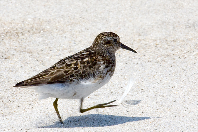 Least Sandpiper - Breezy Point, Gateway NRA, New York