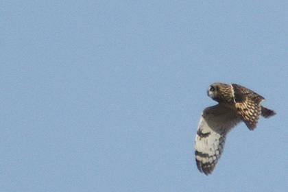 Short-eared Owl at Croton Point Park, New York