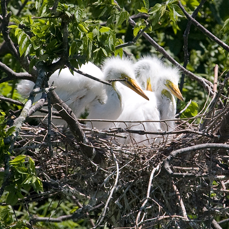 Great Egret with Nestlings, Smith Oaks, High Island, Texas