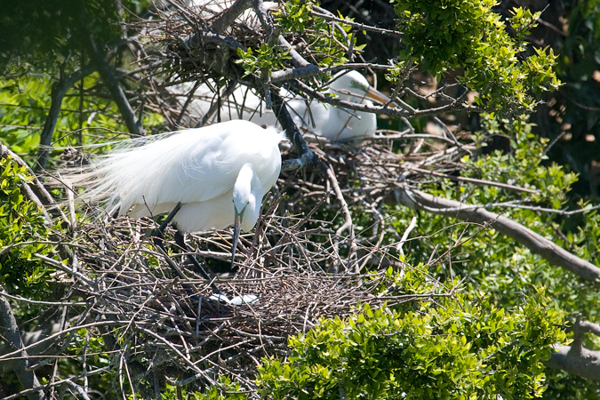 Nesting Great Egret, Smith Oaks, High Island, Texas