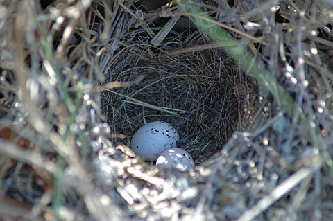Lark Sparrow Nest and Eggs, Norias Division, King Ranch, Texas