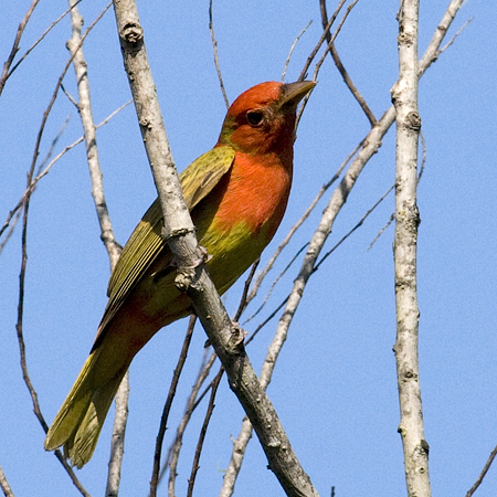 Molting Summer Tanager, Paradise Pond, Port Aransas, Texas