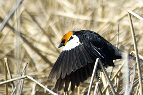 Yellow-headed Blackbird, Bear River Migratory Bird Refuge, Utah