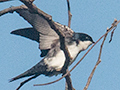 Blue-and-white Swallow, Angelim Rainforest, Brazil