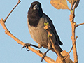 Black-faced Tanager, Água Fria Dirt Road, Brazil