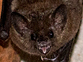 Fruit Bat, Jaguar Lodge, Brazil