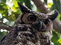 Great Horned Owl, Transpantaneira Highway, Brazil