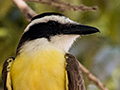 Great Kiskadee, Piuval Lodge, Brazil