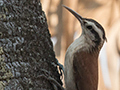 Narrow-billed Woodcreeper, Pantanal Mato Grosso Lodge, Brazil