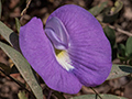 Spurred Butterfly Pea, Piuval Lodge, Brazil