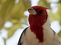 Red-crested Cardinal, Piuval Lodge, Brazil