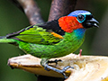 Red-necked Tanager, Ubatuba, Brazil