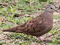 Ruddy Ground-Dove, Hotel Pantanal Norte, Porto Jofre, Brazil