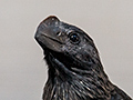 Smooth-billed Ani, Piuval Lodge, Brazil