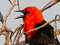 Scarlet-headed Blackbird, Transpantaneira Highway, Brazil