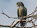 Scaly-headed Parrot, Iguazú National Park, Argentina