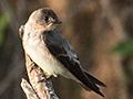Southern Rough-winged Swallow, Cuiabá River, Porto Jofre, Brazil
