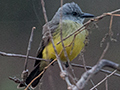 Tropical Kingbird, Pantanal Mato Grosso Lodge, Brazil