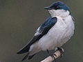 White-winged Swallow, Pixiam River, Brazil