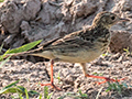 Yellowish Pipit, Pantanal Mato Grosso Lodge, Brazil