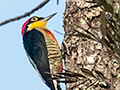 Yellow-fronted Woodpecker, Iguazú National Park, Argentina