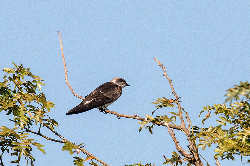 Brown-chested Martin, Cuiabá River, Porto Jofre, Brazil