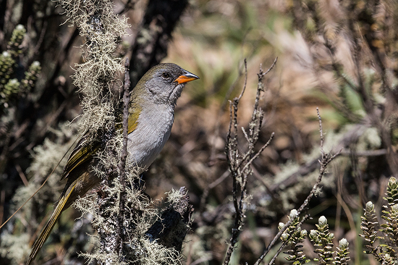 Great Pampa-Finch, Agulhas Negras Road,  Parque Nacional do Itatiaia, Brazil
