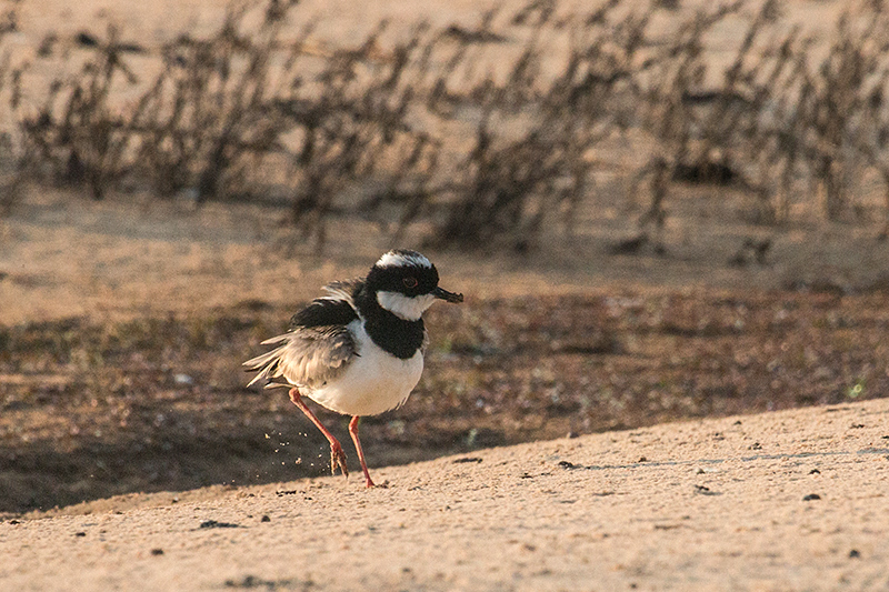 Pied Lapwing, Cuiabá River, Porto Jofre, Brazil