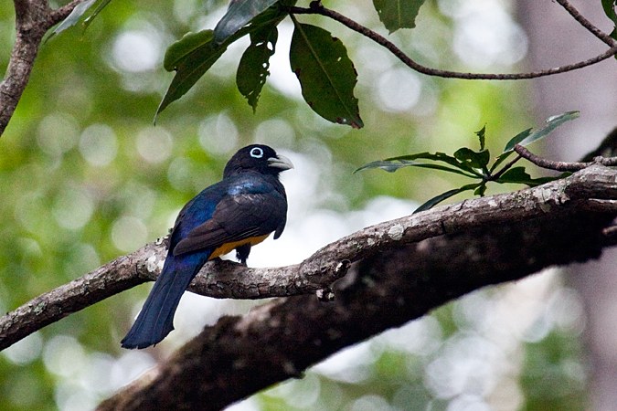 Male Black-headed Trogon, On the Rio Tarcoles, Costa Rica by Richard L. Becker