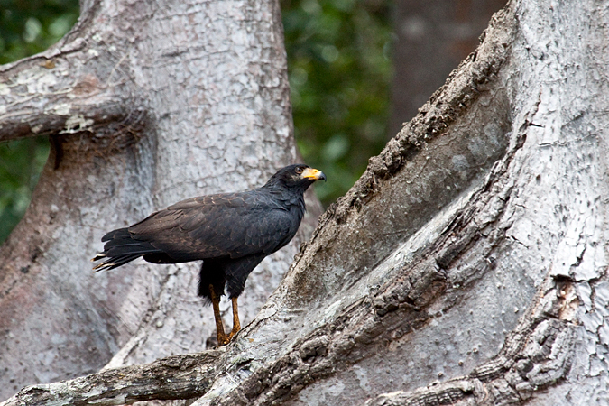 Common Black Hawk (Mangrove Black Hawk), On the Rio Tarcoles, Costa Rica by Richard L. Becker