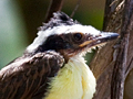 Juvenile Great Kiskadee