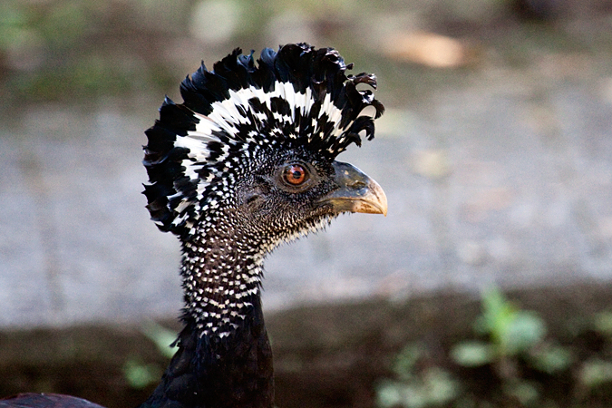 Female Great Curassow, La Selva Biological Station, Costa Rica