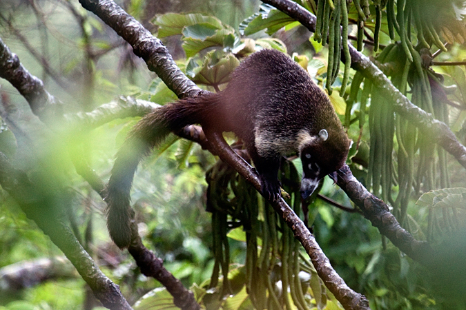 White-nosed Coatimundi, Monteverde, Costa Rica by Richard L. Becker