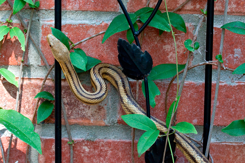 Yellow Rat Snake, Jacksonville, Florida