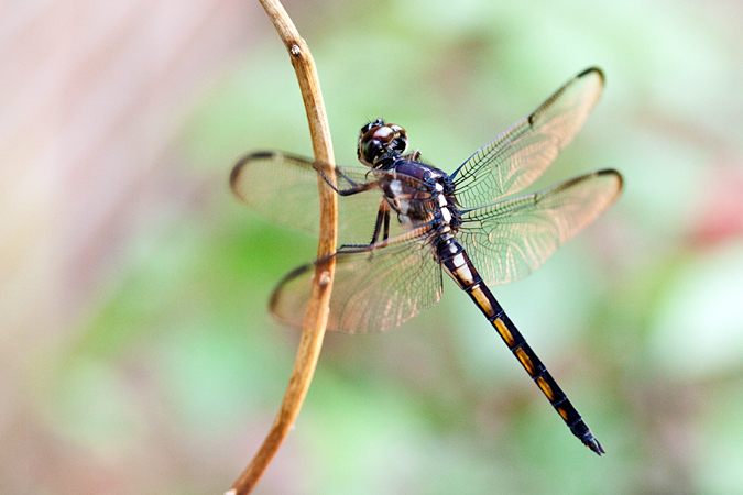 Immature Female Blue Dasher, Jacksonville, Florida by Richard L. Becker