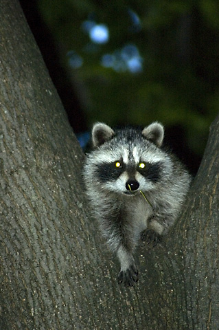 Raccoon in Stamford, Connecticut