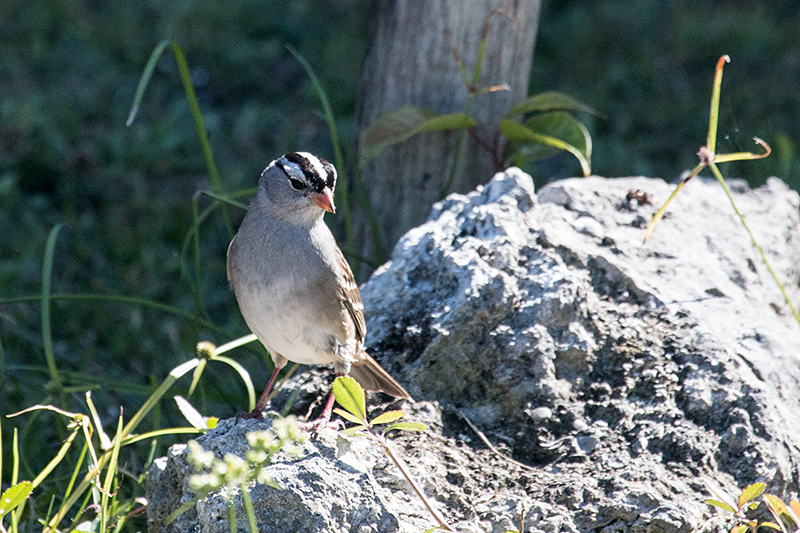 White-crowned Sparrow, Guanahacabibes Peninsula, Cuba