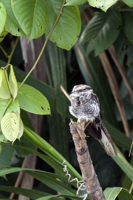Ladder-tailed Nightjar on the Napo River, Ecuador