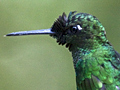 Male Green-crowned Brilliant