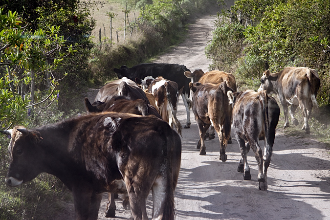 Cattle on the Road - Quito to Yanacocha