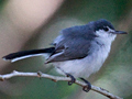 White-lored Gnatcatcher, Honduras